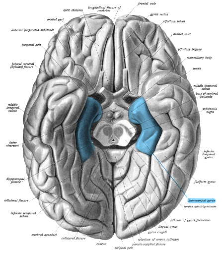 The parahippocampal gyrus is shown in blue