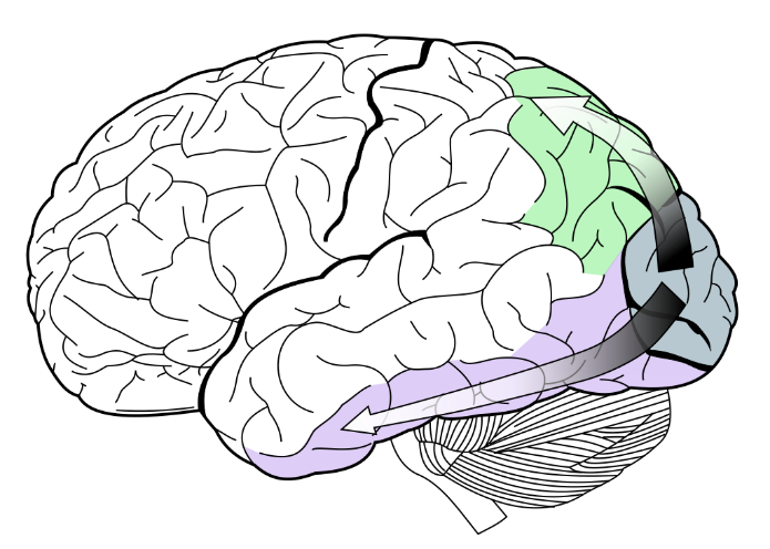 The dorsal stream (shown in green) and the ventral stream (shown in purple)