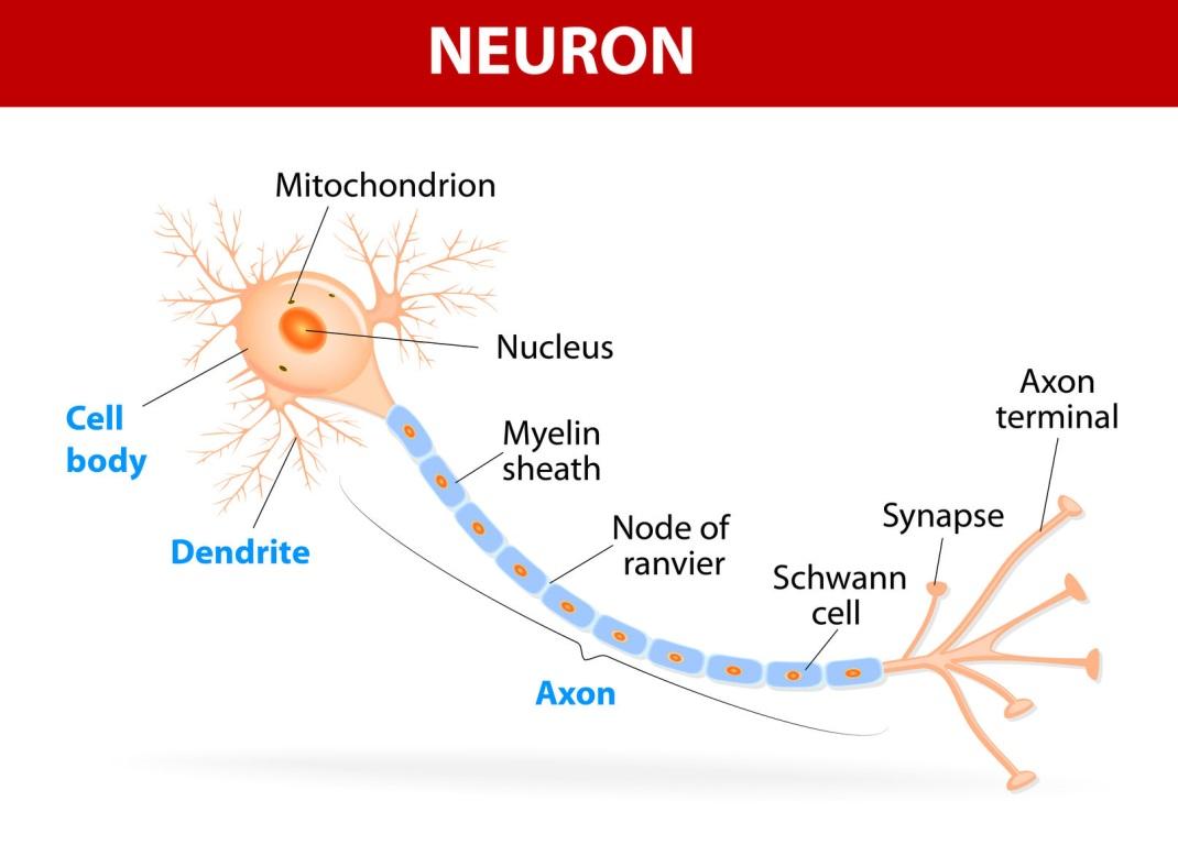 A brain neuron
